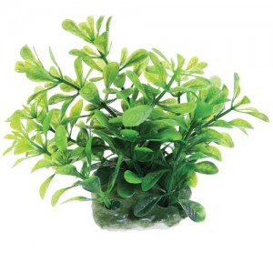 Green Moneywort - 2.5""