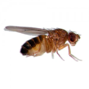 """Live Flightless Fruit Fly Culture - hydei (1/8"""") - 50 to 100 pk"""