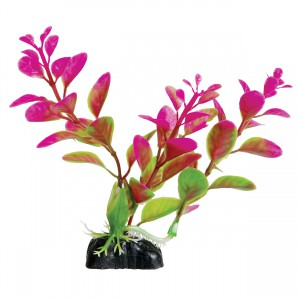 Moneywort - Purple - 5""